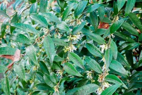 sarcococa ruscifolia (8)