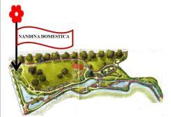 Nandina domestica (5)