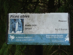 Picea abies (10)