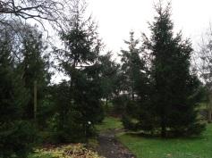 Picea abies (11)