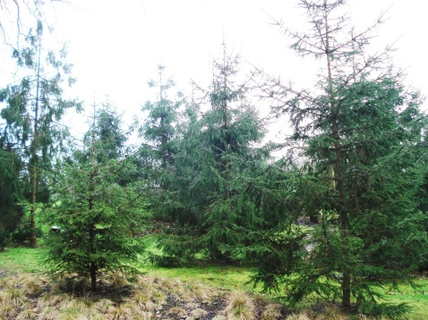 Picea abies (12)