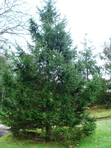 Picea abies (13)