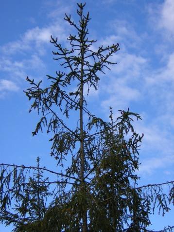 Picea abies (14)