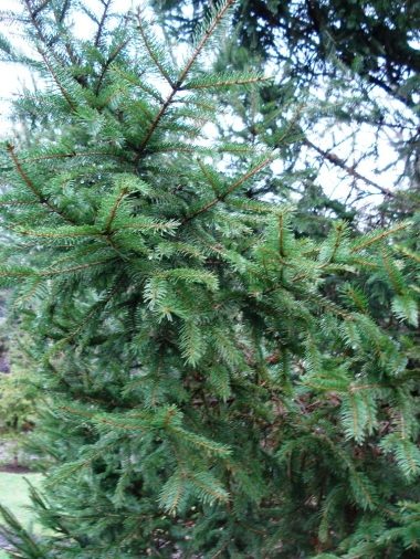 Picea abies (15)