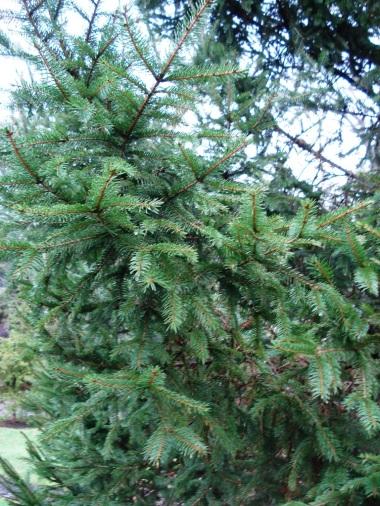 Picea abies (15)