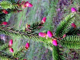 Picea abies (16)