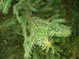 Picea abies (17)