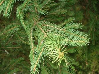 Picea abies (17)