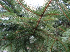 Picea abies (18)