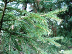 Picea abies (19)