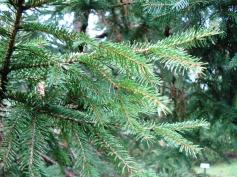 Picea abies (19)