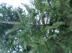 Picea abies (20)