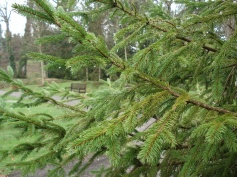 Picea abies (21)