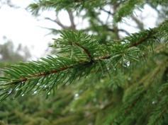 Picea abies (22)