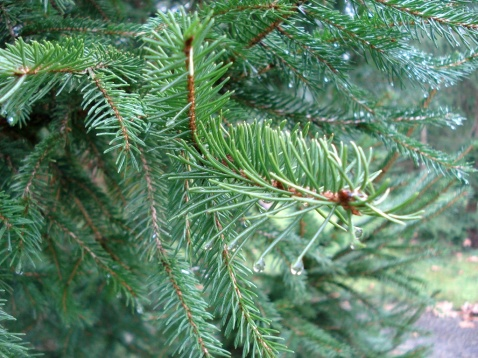 Picea abies (23)