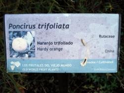 Poncirus trifoliata (12)