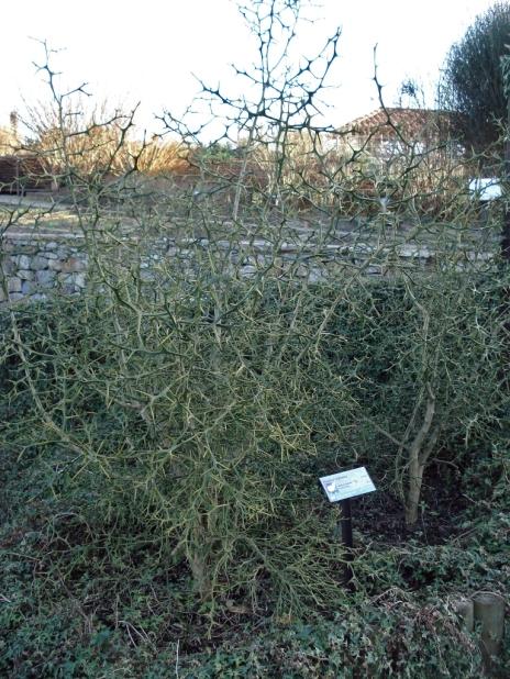 Poncirus trifoliata (14)