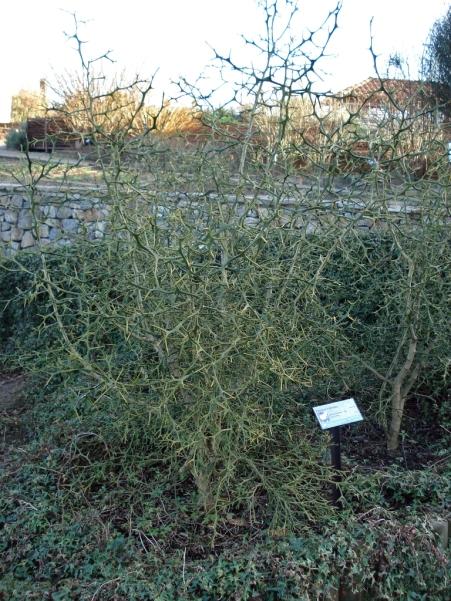 Poncirus trifoliata (15)