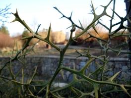 Poncirus trifoliata (16)