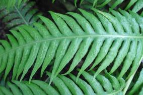 Woodwardia radicans (10)