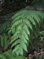Woodwardia radicans (11)