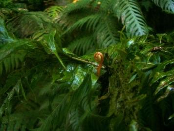Woodwardia radicans (15)