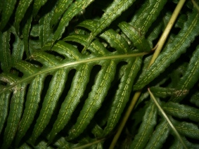 Woodwardia radicans (4)