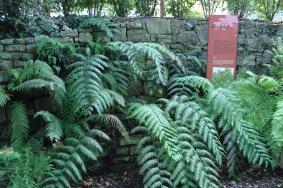 Woodwardia radicans (6)