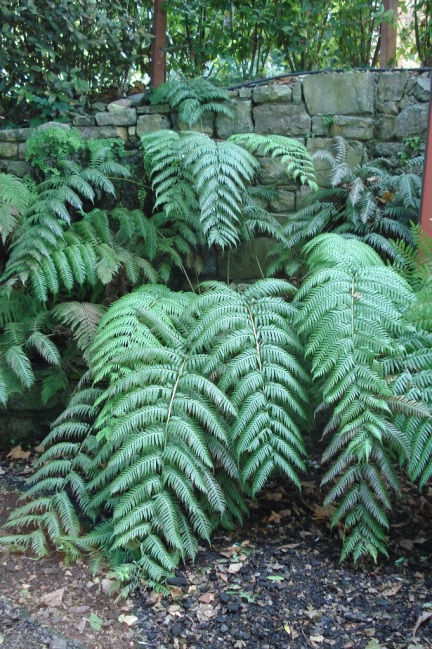 Woodwardia radicans (7)