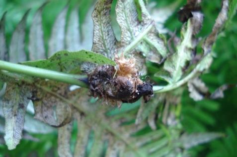 Woodwardia radicans (8)