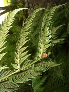 Woodwardia radicans (9)