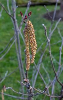 Alnus incana subsp. rugosa 9