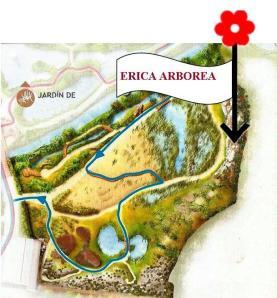 ERICA ARBOREA - BREZO BLANCO.plano