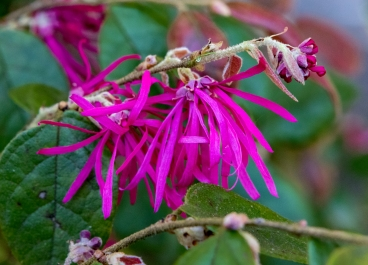 Loropetalum chinesis 10