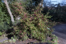 Loropetalum chinesis 5