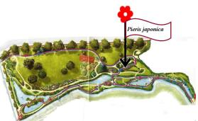 Pieris japonica - Jardín La Isla