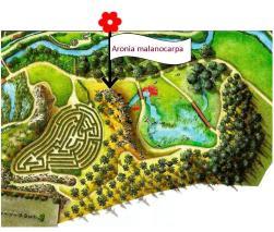 Aronia malanocarpa (plano)