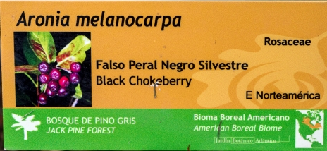 Aronia melanocarpa 0 (cartela)