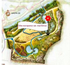 Ulex europaeus maritimus (plano)
