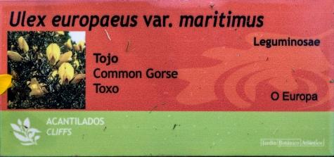 Ulex europaeus var. maritimus 0 (cartela)