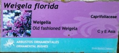 Weigela florida variegata 0 (cartela)