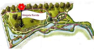 Weigela florida variegata (plano)