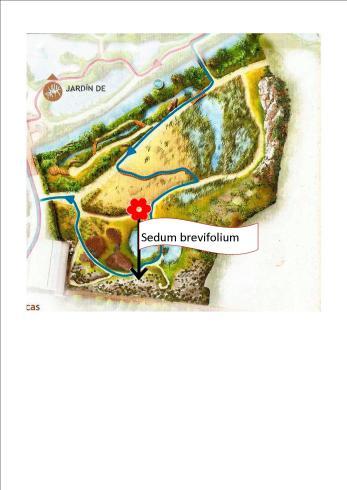 001-Sedum brevifolium