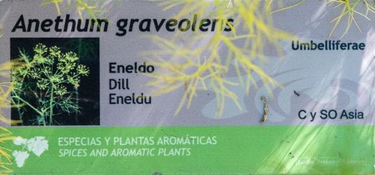 003-Anethum graveolens