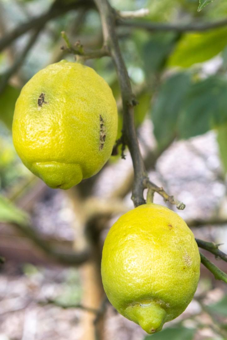Citrus limon-0272