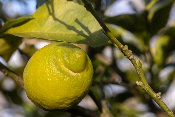 Citrus limon-0274