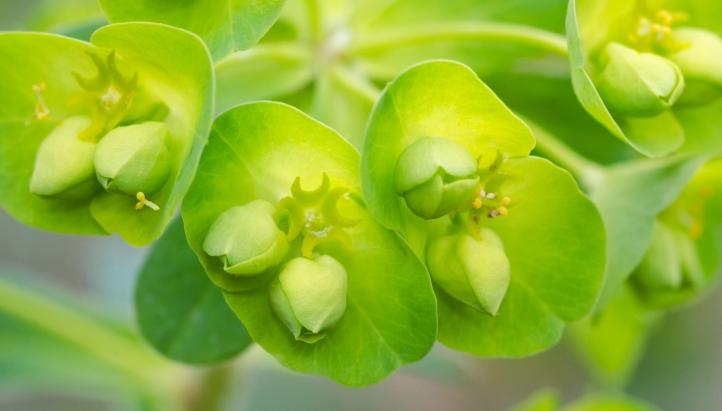 Euphorbia_01